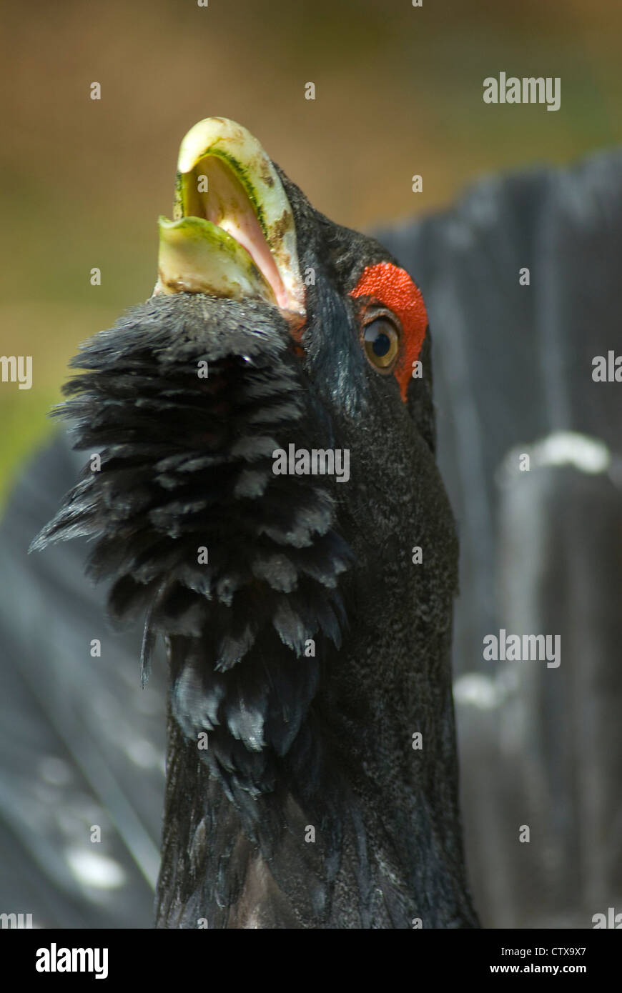 male Capercaillie (Tetrao urogallus) at lek in Scotland - Stock Image