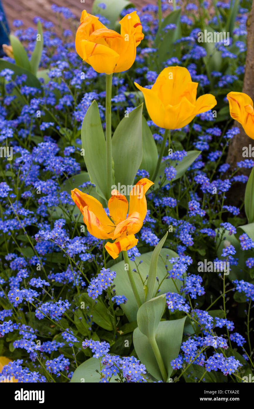 Spring Garden Scene With Yellow Tulips And Blue Flowers Stock Photo