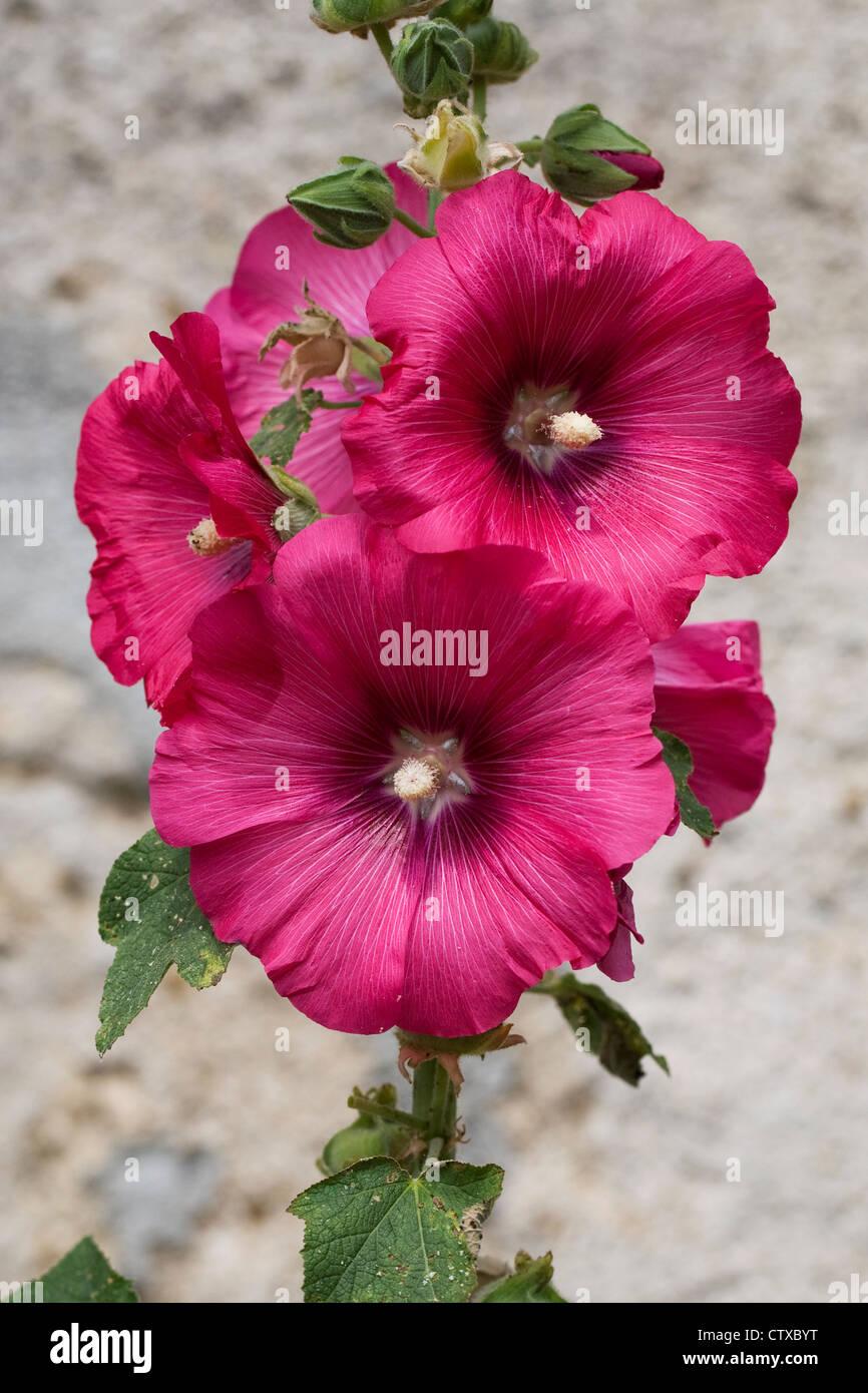 Alcea rosea. Dark pink hollyhock against a stone wall. - Stock Image