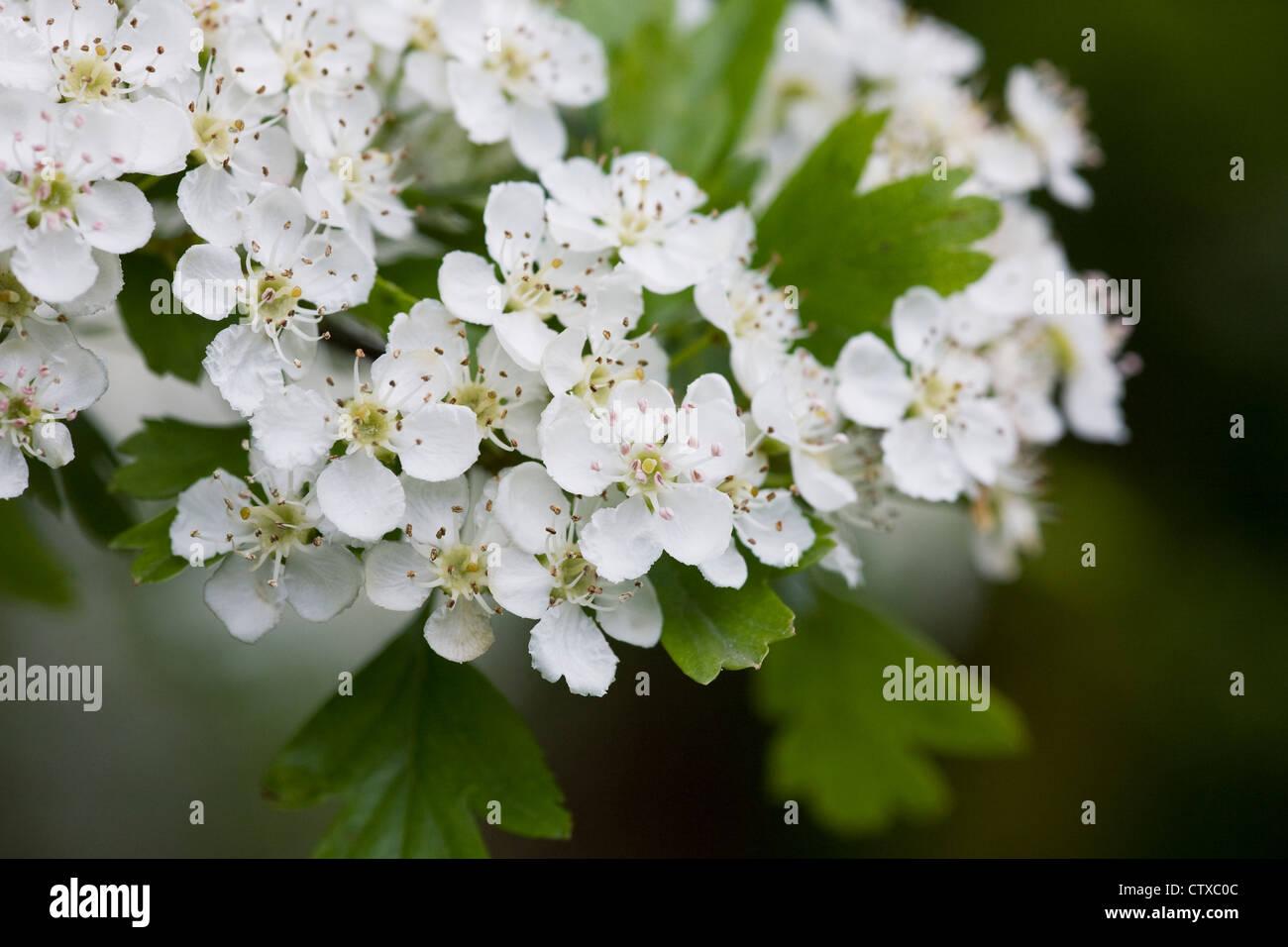 Crataegus monogyna blossom. Hawthorn blossom in Spring. - Stock Image