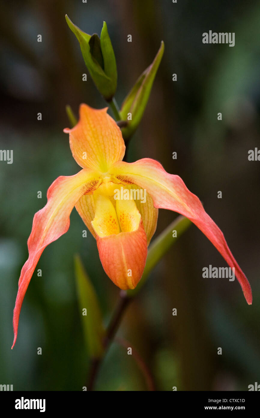 Phragmipedium 'Eric Young'. Orchid in a glasshouse. - Stock Image