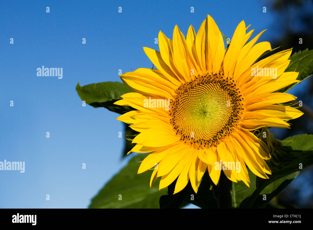 Helianthus annuus. A single sunflower against a blue sky. - Stock Image