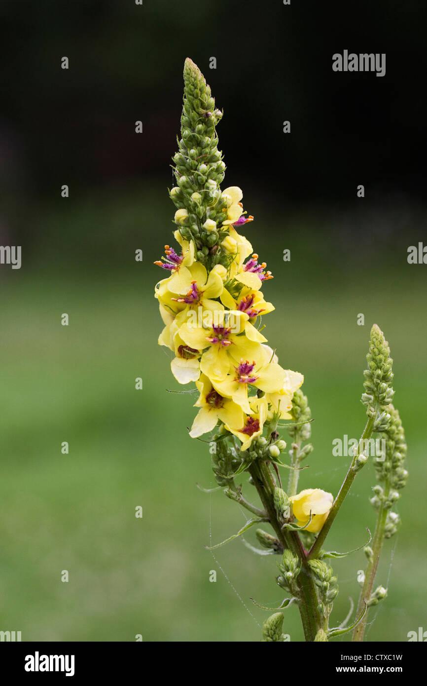 Verbascum blattaria. Moth mullein growing in wildflower meadow. - Stock Image
