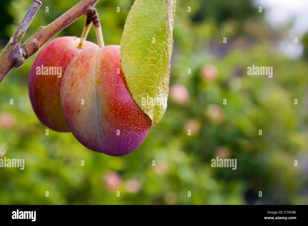Victoria plums fruit tree. - Stock Image