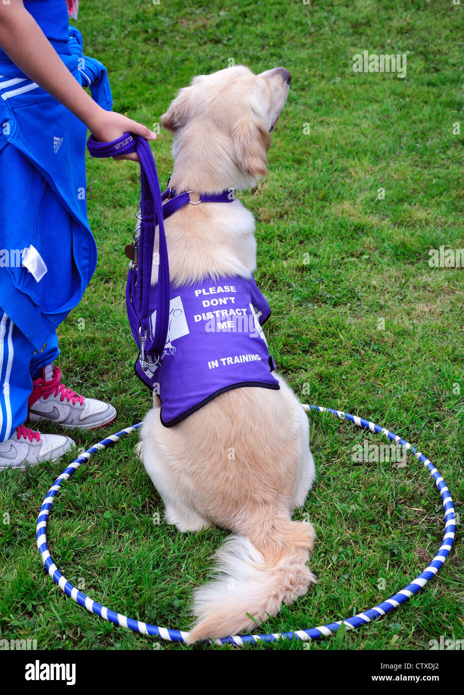 Golden retriever undergoing training. Pollok Park family day, Glasgow, Scotland, UK - Stock Image