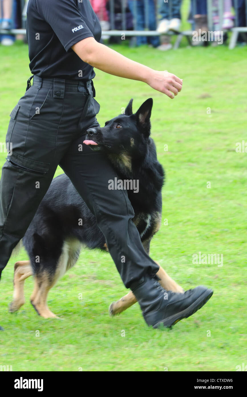Police dog at heel of female handler. Pollok Park family day in Glasgow, Scotland, UK - Stock Image
