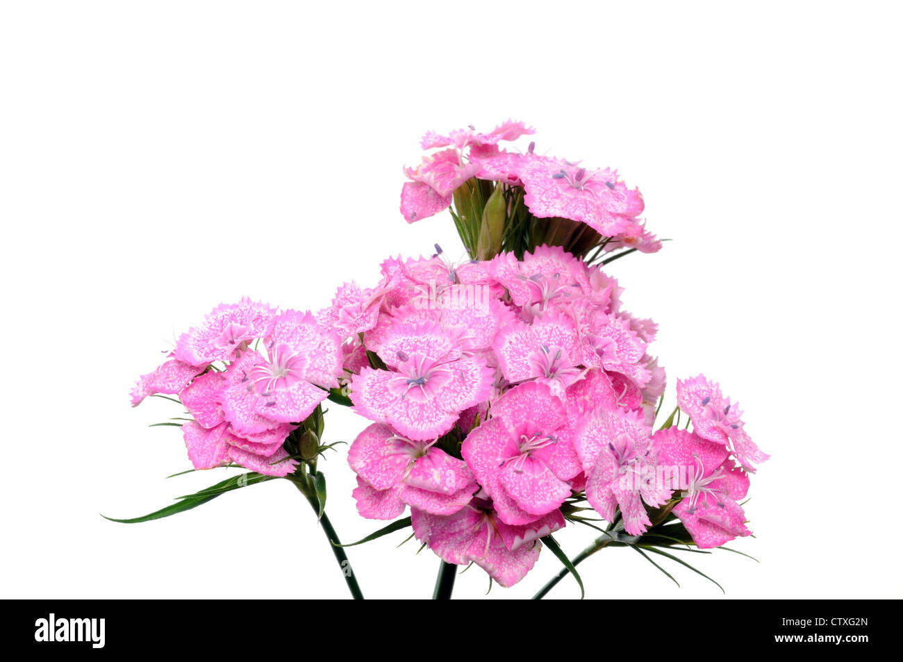 Sweet william flower in front of a white background stock photo sweet william flower in front of a white background mightylinksfo