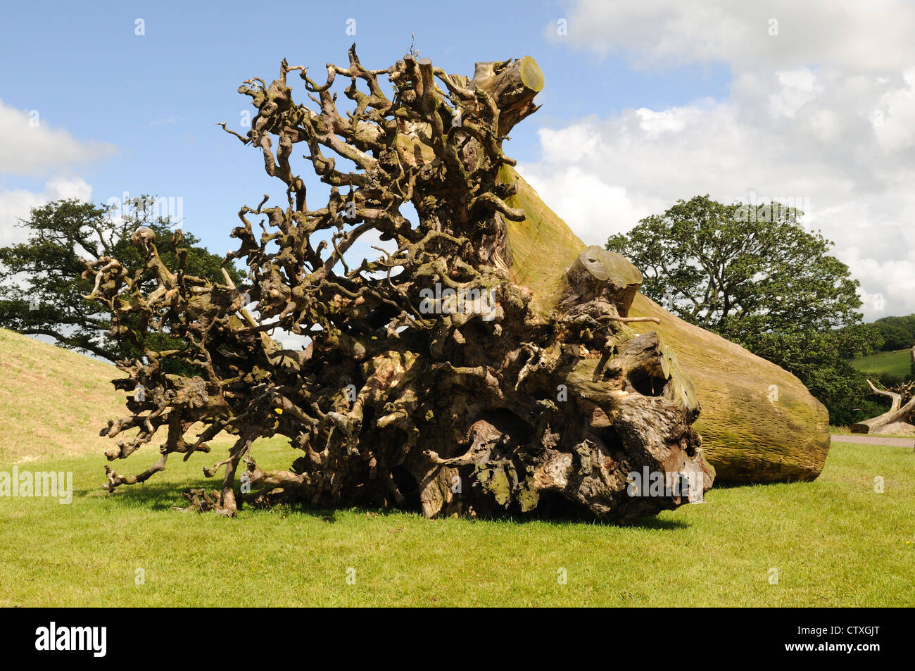 Ghost Forest Trees at The national Botanical Gardens of Wales Stock ...