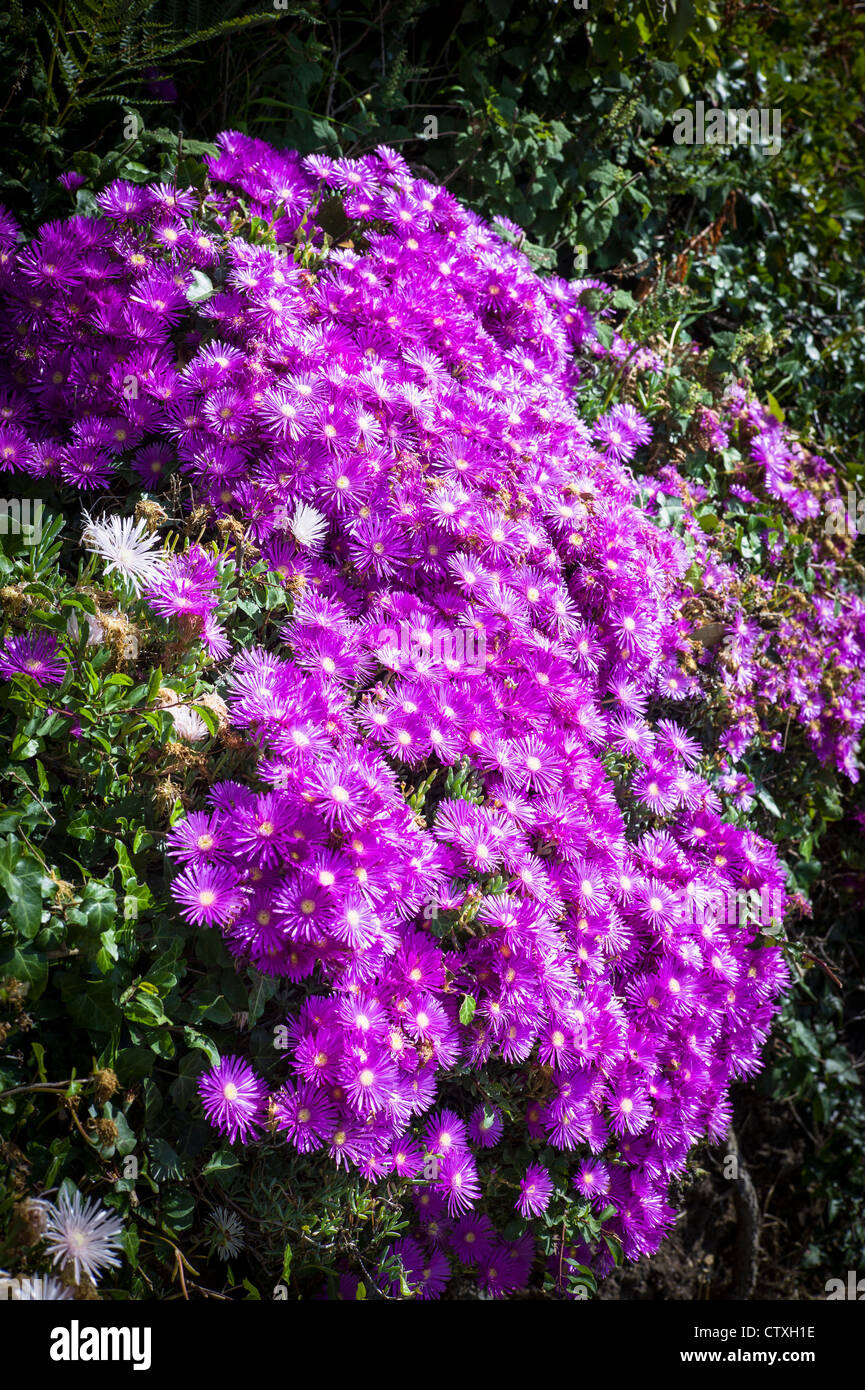 Magenta flowers of Lampranthus growing on a bank in Guernsey UK - Stock Image