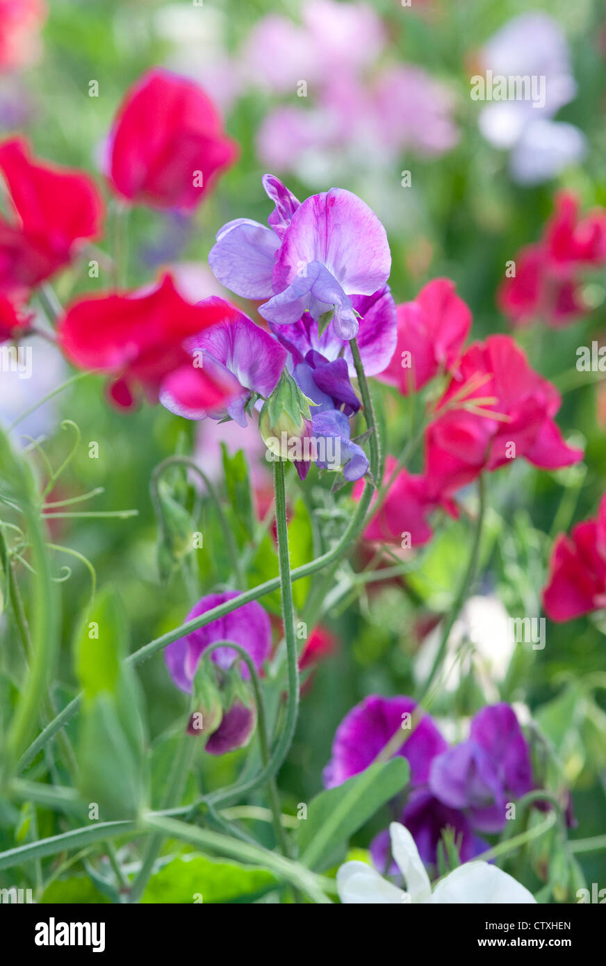 colourful sweet pea flowers in an english garden - Stock Image