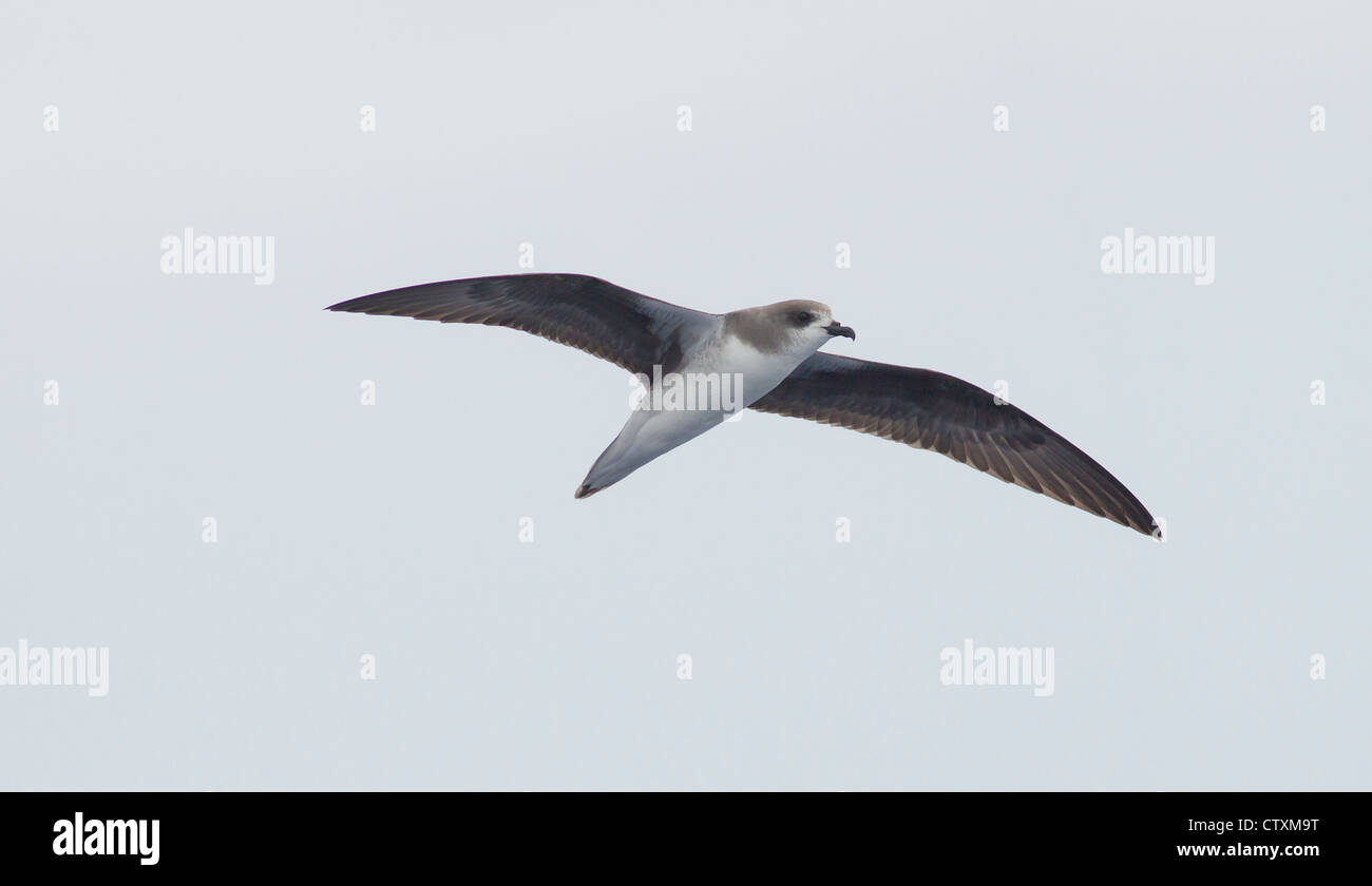 Zinos Petrel Pterodroma madeira in flight over sea near Madeira Stock Photo