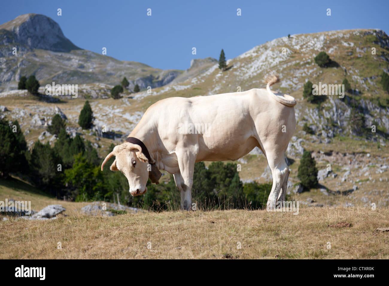 A blonde d'Aquitaine cow at its Summer pasture (Pic du Midi d'Ossau regional Park - Aquitaine - France). - Stock Image
