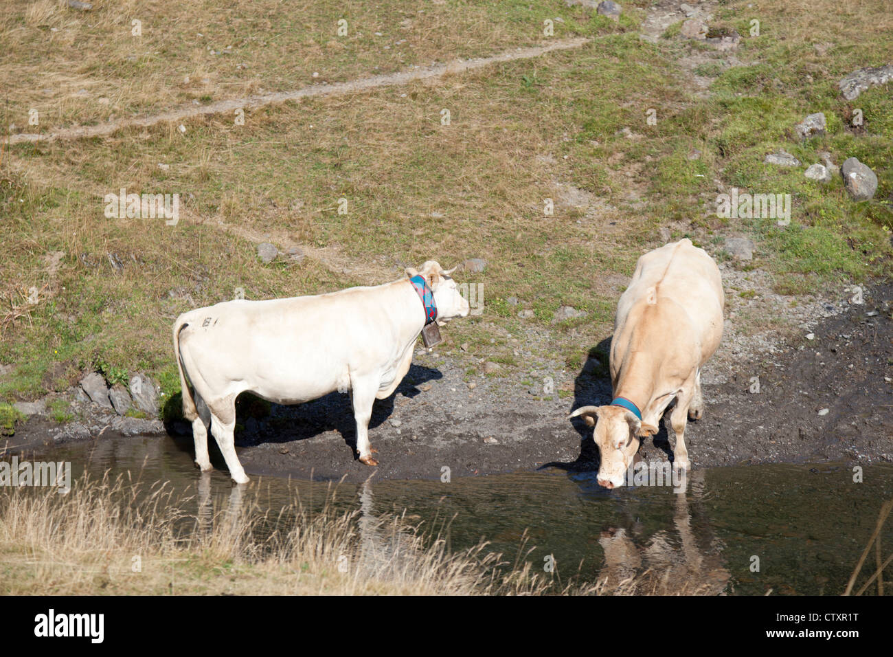 Two blonde d'Aquitaine cows drinking at a brook (Pic du Midi d'Ossau regional Park - Aquitaine - France - Stock Image