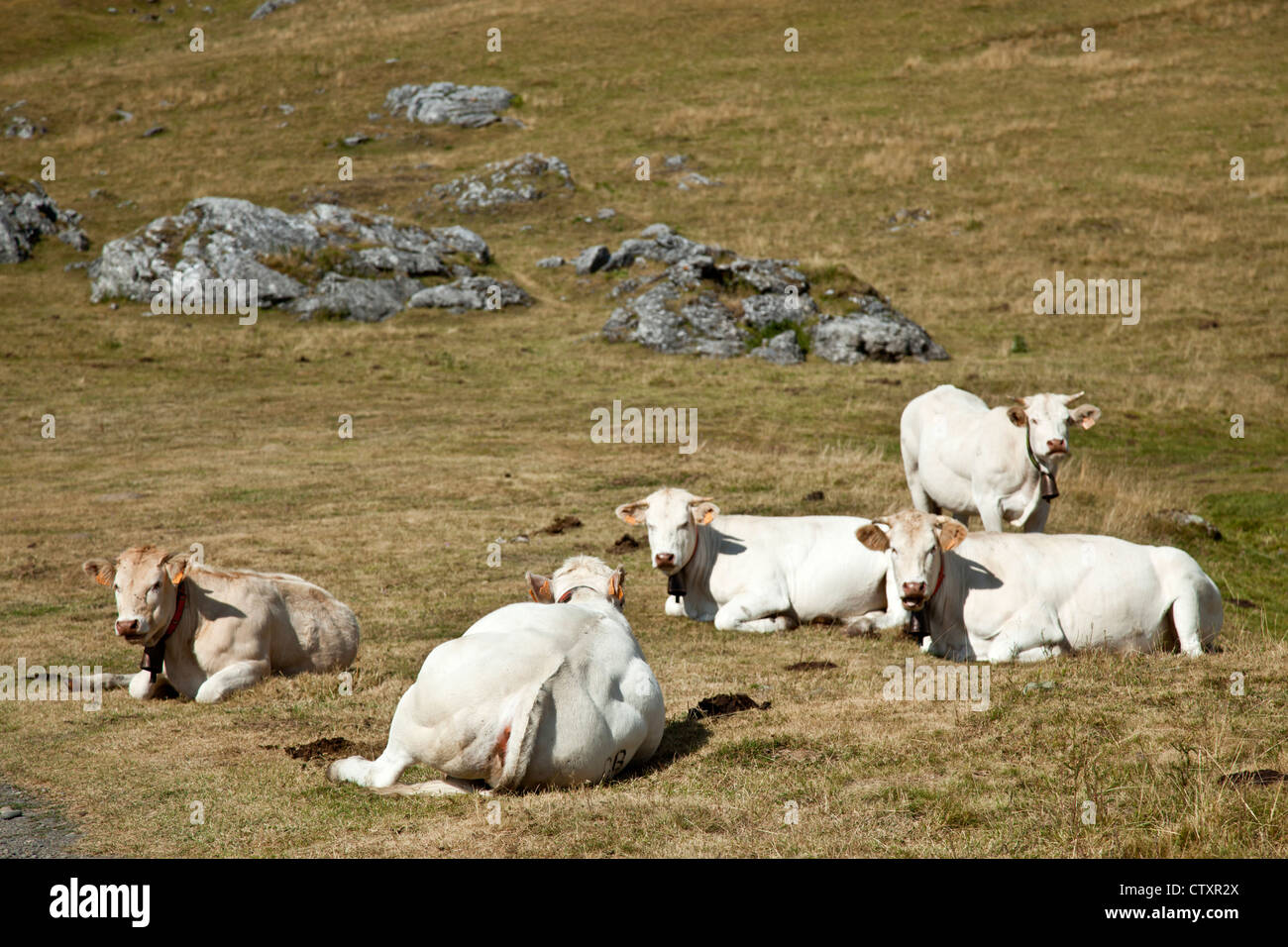 A heard of blonde d'Aquitaine cattle at their pasture at high altitude (Pic du Midi d'Ossau regional Park - Stock Image