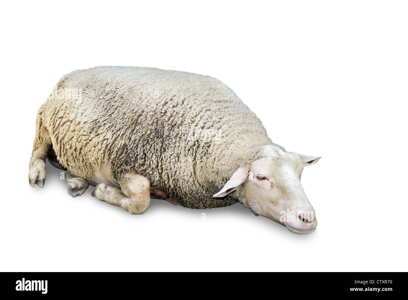 Great details of a very cute sleeping sheep with lots of