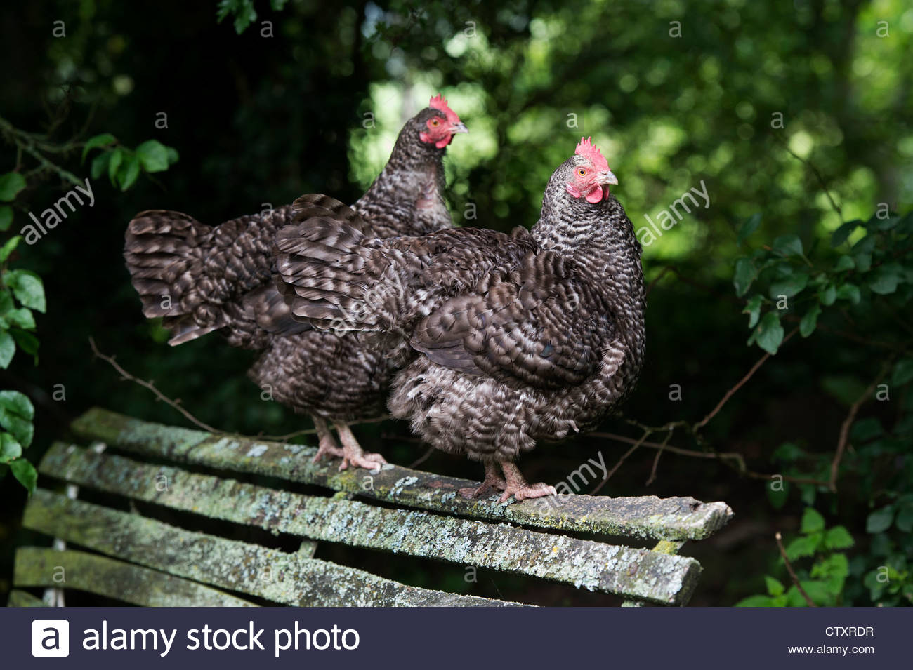 Gallus gallus domestics. Plymouth Rock chickens on an old garden seat - Stock Image