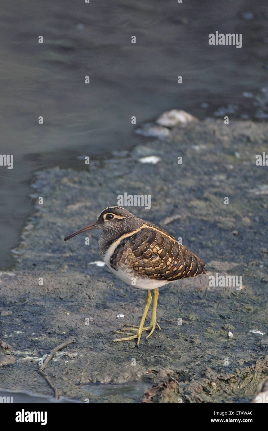 Greater Painted Snipe (Rostratula benghalensis) Bharatpur India IN November 2011 - Stock Image