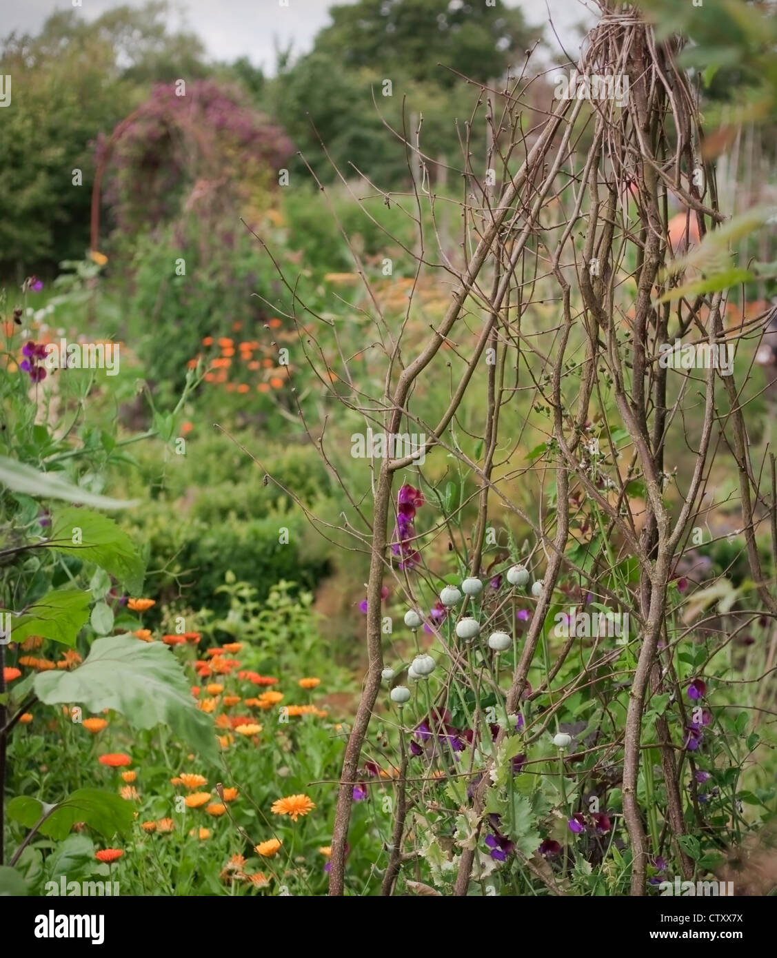 Annual sweet peas growing up natural wigwam of hazel twigs with annual ornamental poppy dried seedheads, Oxfordshire, - Stock Image