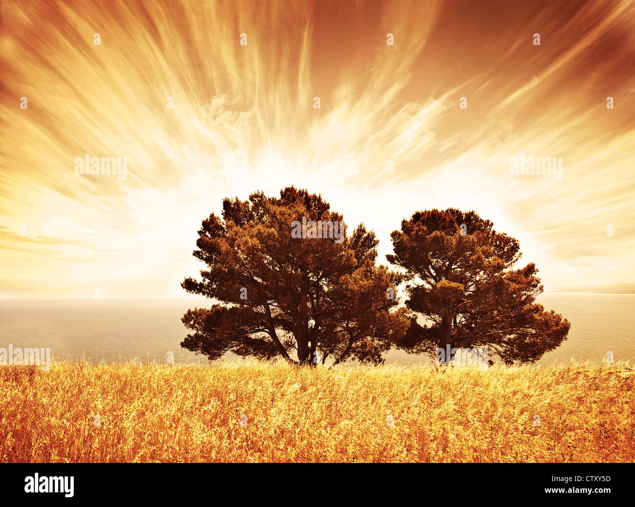 Lonely old trees, grunge autumn background, warm orange sunlight, big dry oak tree on wheat field over sunset, South - Stock Image