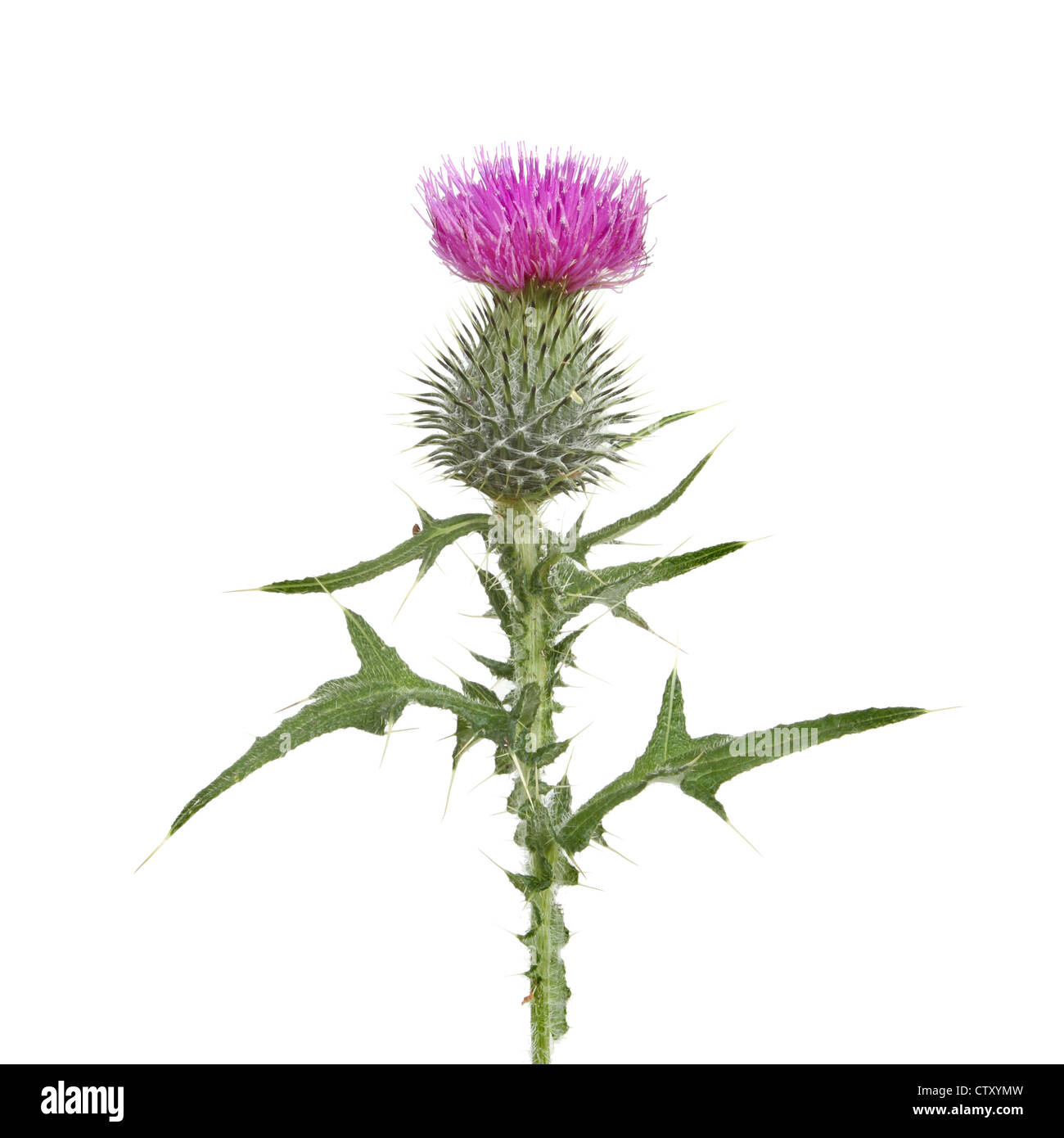 Thistle flower and leaves isolated against white - Stock Image