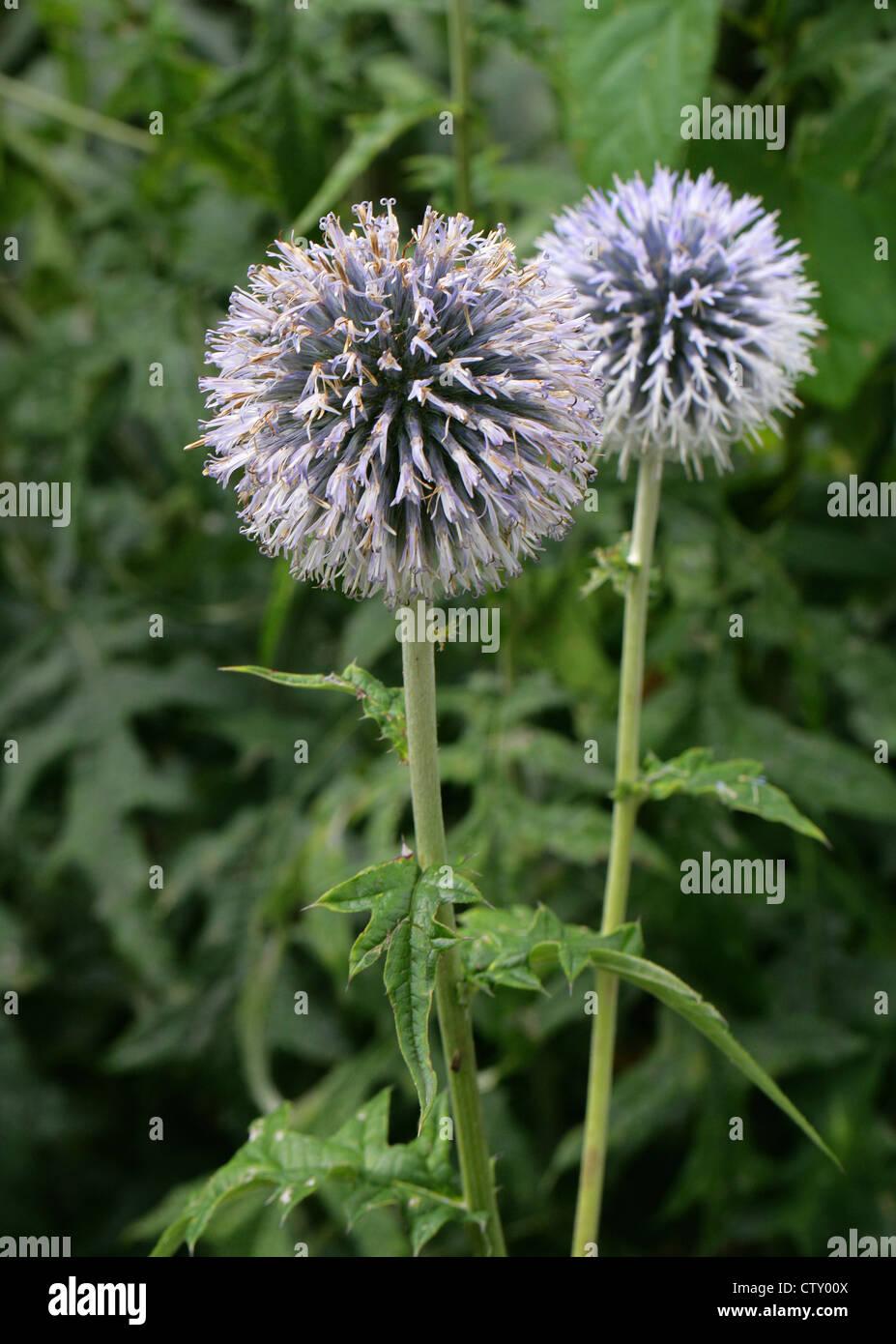 "Globe Thistle, Echinops ritro ""Taplow Blue"", Asteraceae. Stock Photo"