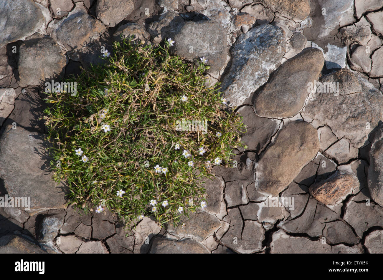 river bed with plant life pebbles no water rocks marine flora - Stock Image