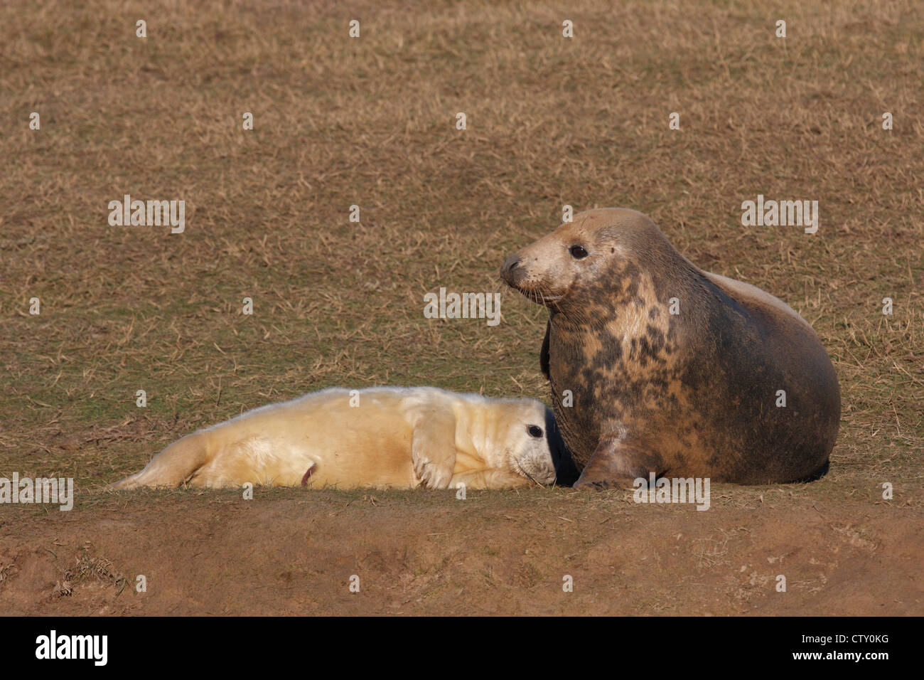 Grey seals (Halichoerus grypus) female and pup on the beach at Donna Nook, Lincolnshire, England, UK Stock Photo
