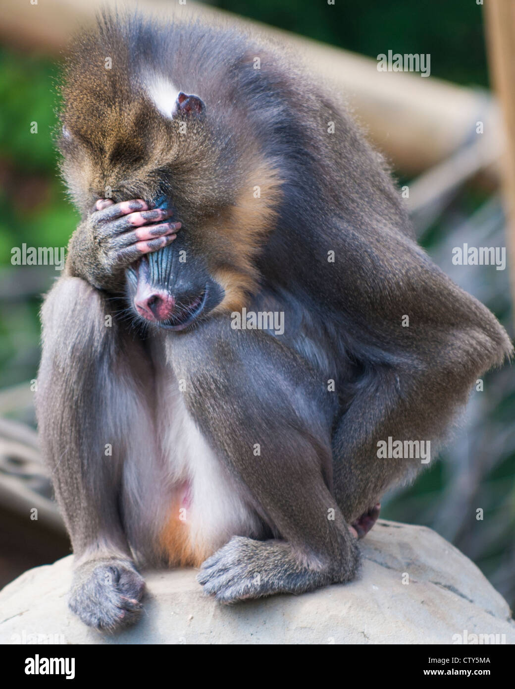 Monkey Having Bad Day Stock Photos Monkey Having Bad Day Stock