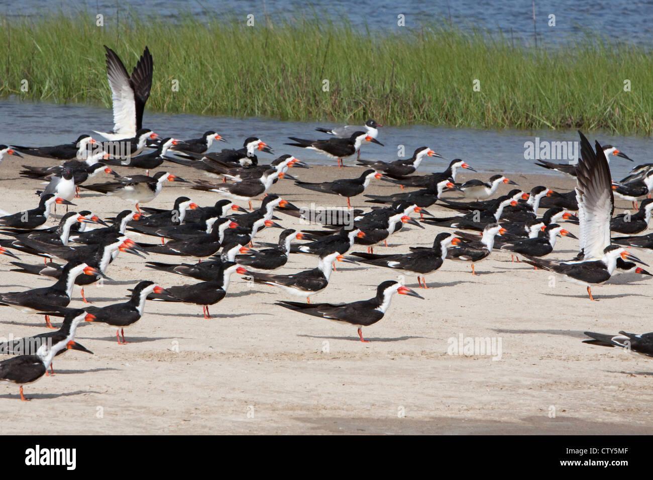 Black Skimmer - flock resting on sandbar at high tide Rynchops nigra Bolivar Flats Texas. USA BI022933 - Stock Image