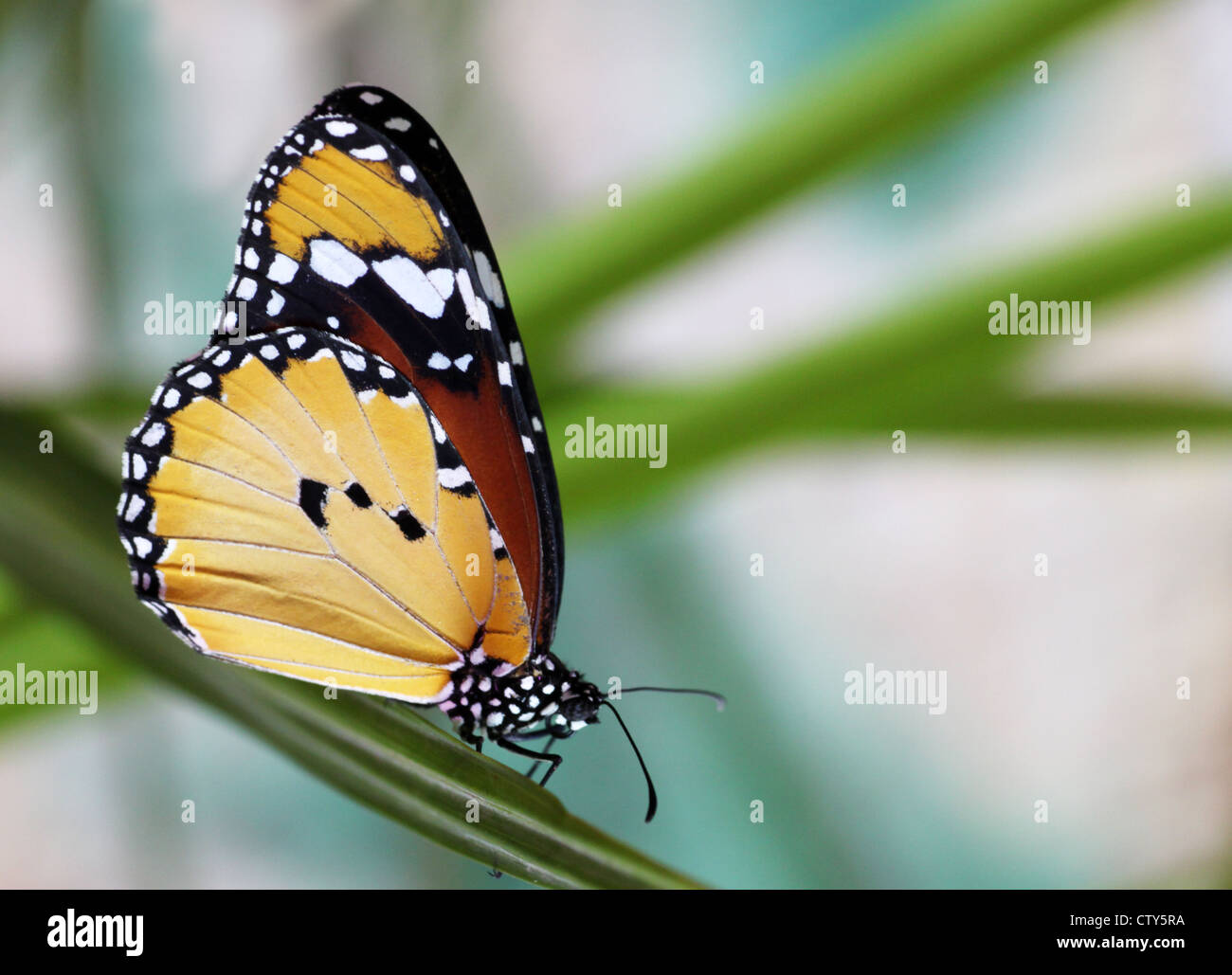Monarch butterfly on a plant - Stock Image