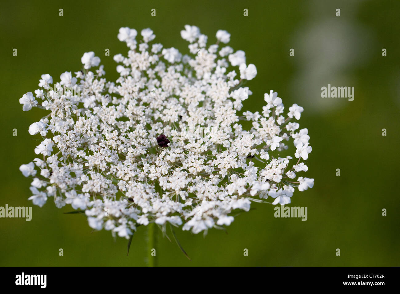 Daucus carota. Wild carrot growing in a meadow. - Stock Image