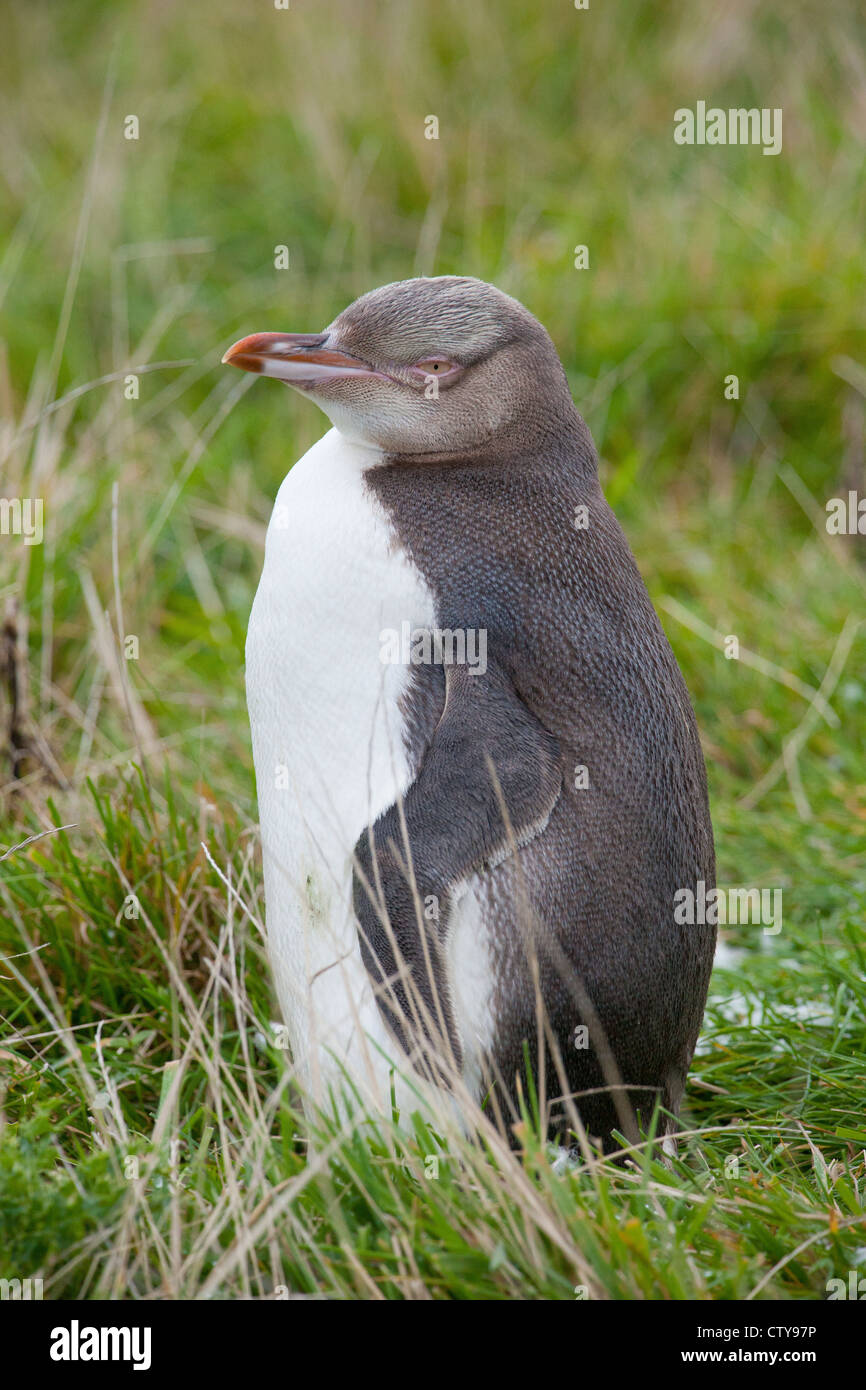 yellow eyed penguin - Stock Image