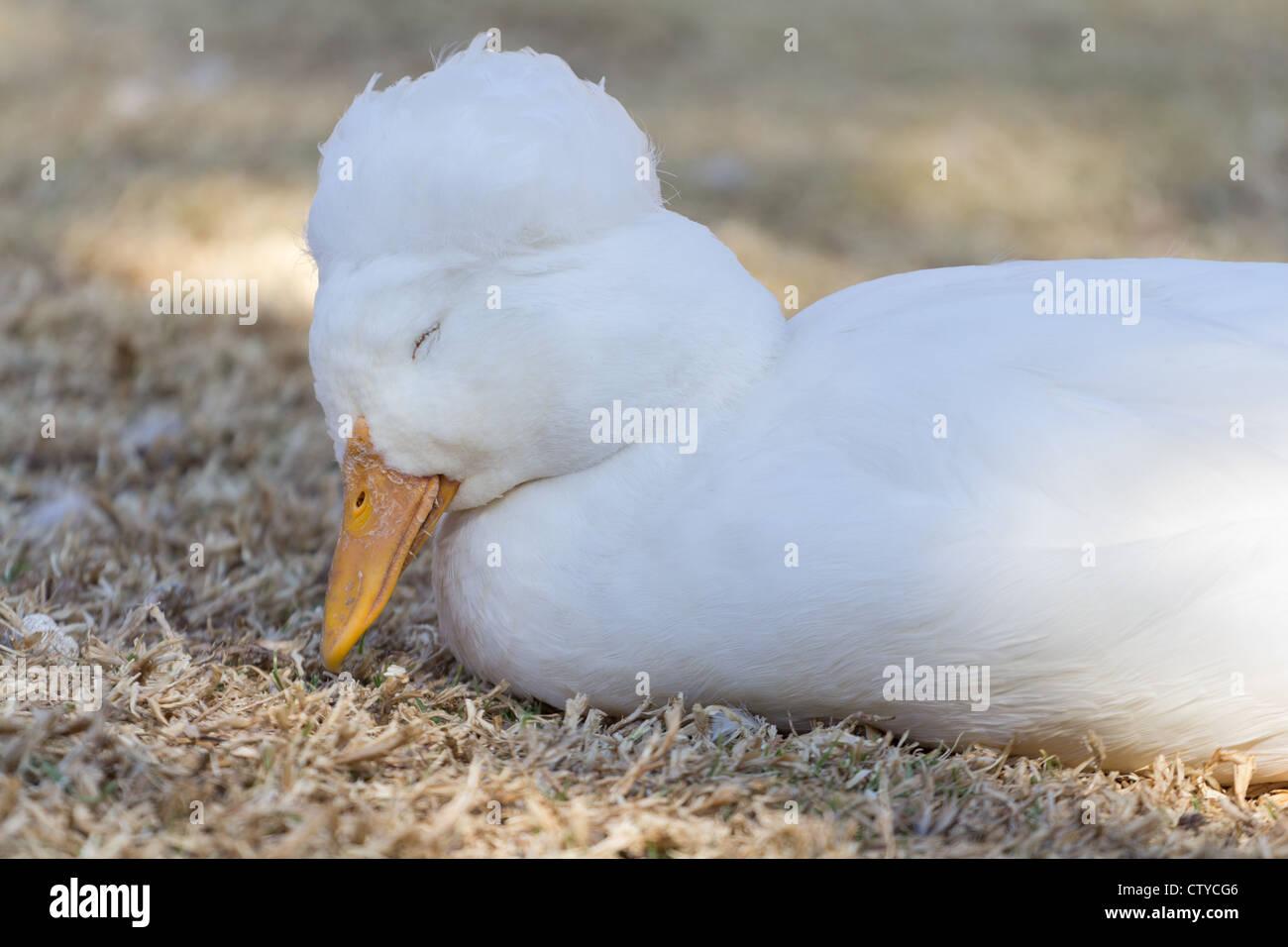 A beautiful little sleepy duck of the anatidae family - Stock Image