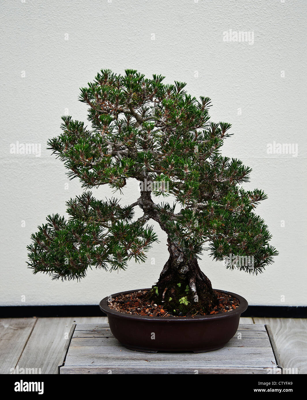 Japanese Black Pine bonsai tree. - Stock Image