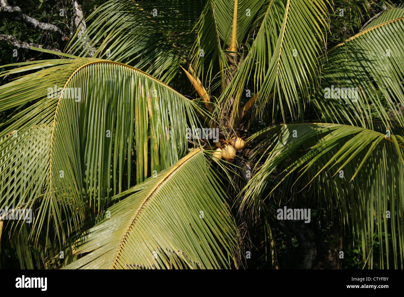 Green coconuts on green coconut tree with green leaves in kerala india south india fresh during summer and winter - Stock Image