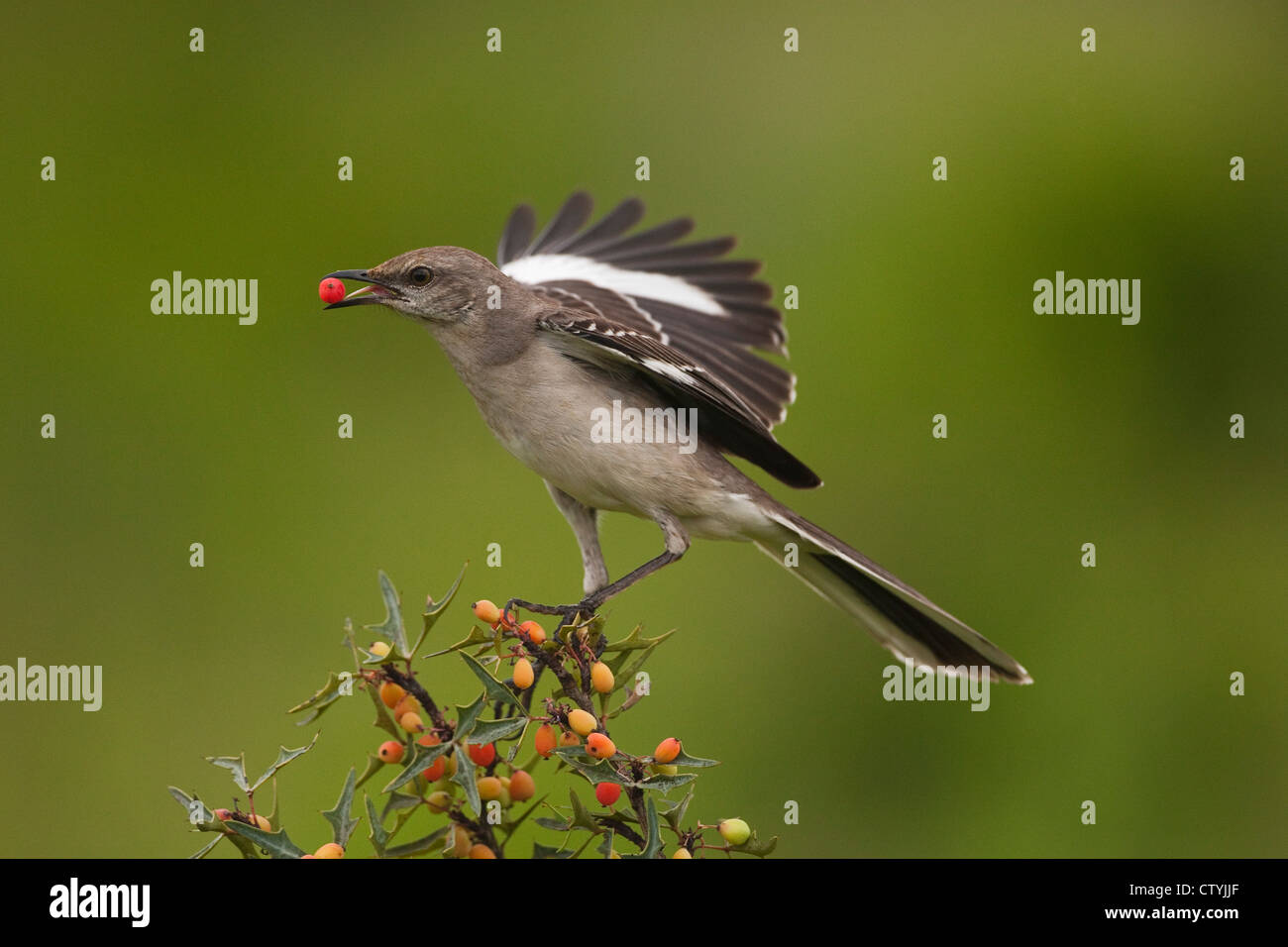 Northern Mockingbird Mimus Polyglottos Adult Eating Berries Starr County Rio Grande Valley