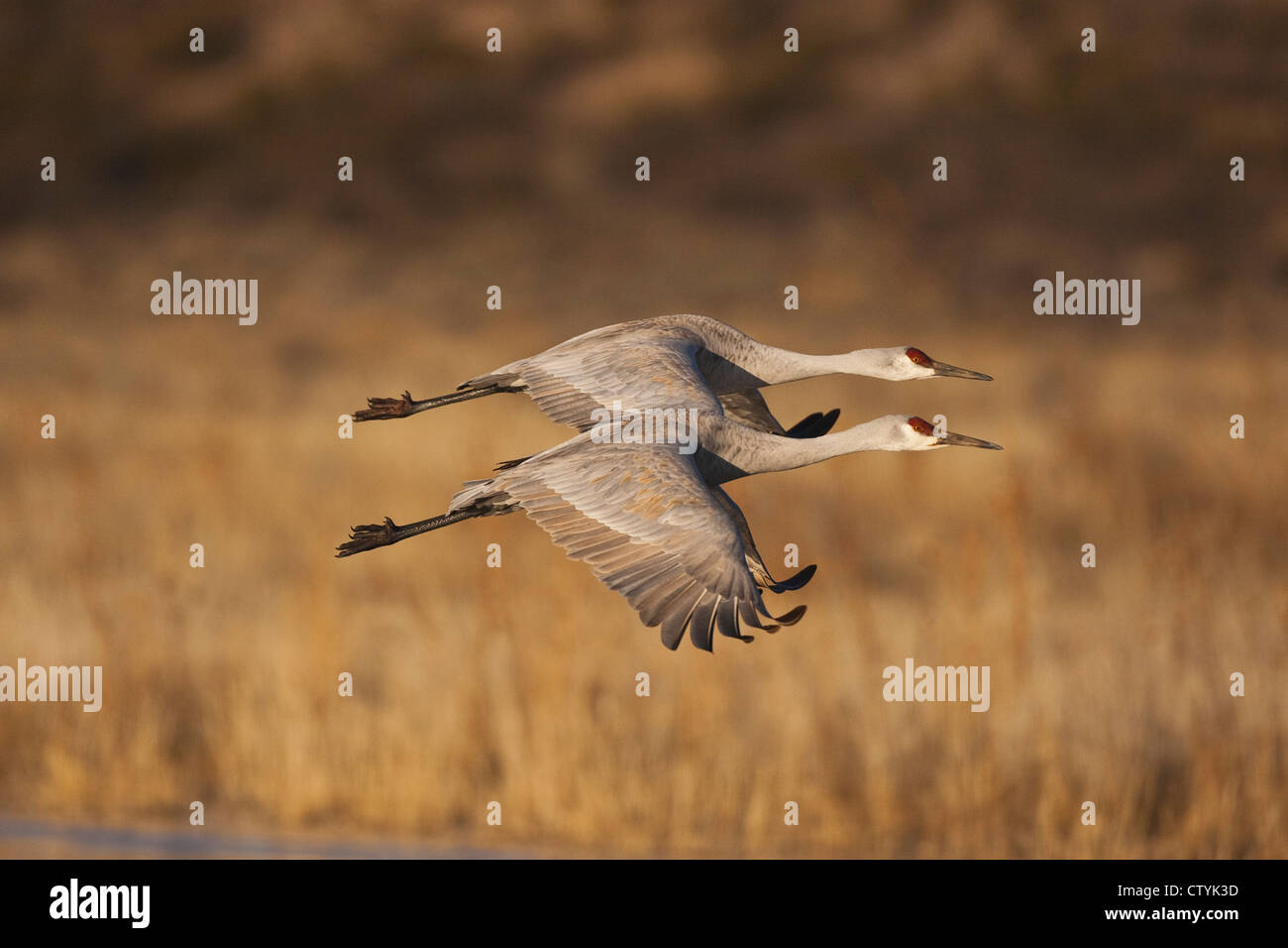 Sandhill Crane (Grus canadensis) adults in flight, Bosque del Apache National Wildlife Refuge , New Mexico, USA - Stock Image
