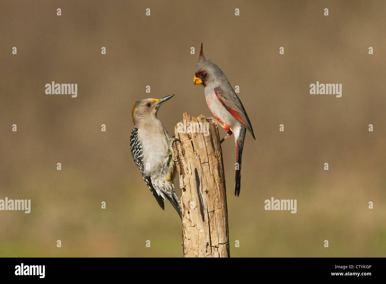 Pyrrhuloxia (Cardinalis sinuatus), male and Golden-fronted Woodpecker (Melanerpes aurifrons) perched, Starr County, Texas Stock Photo