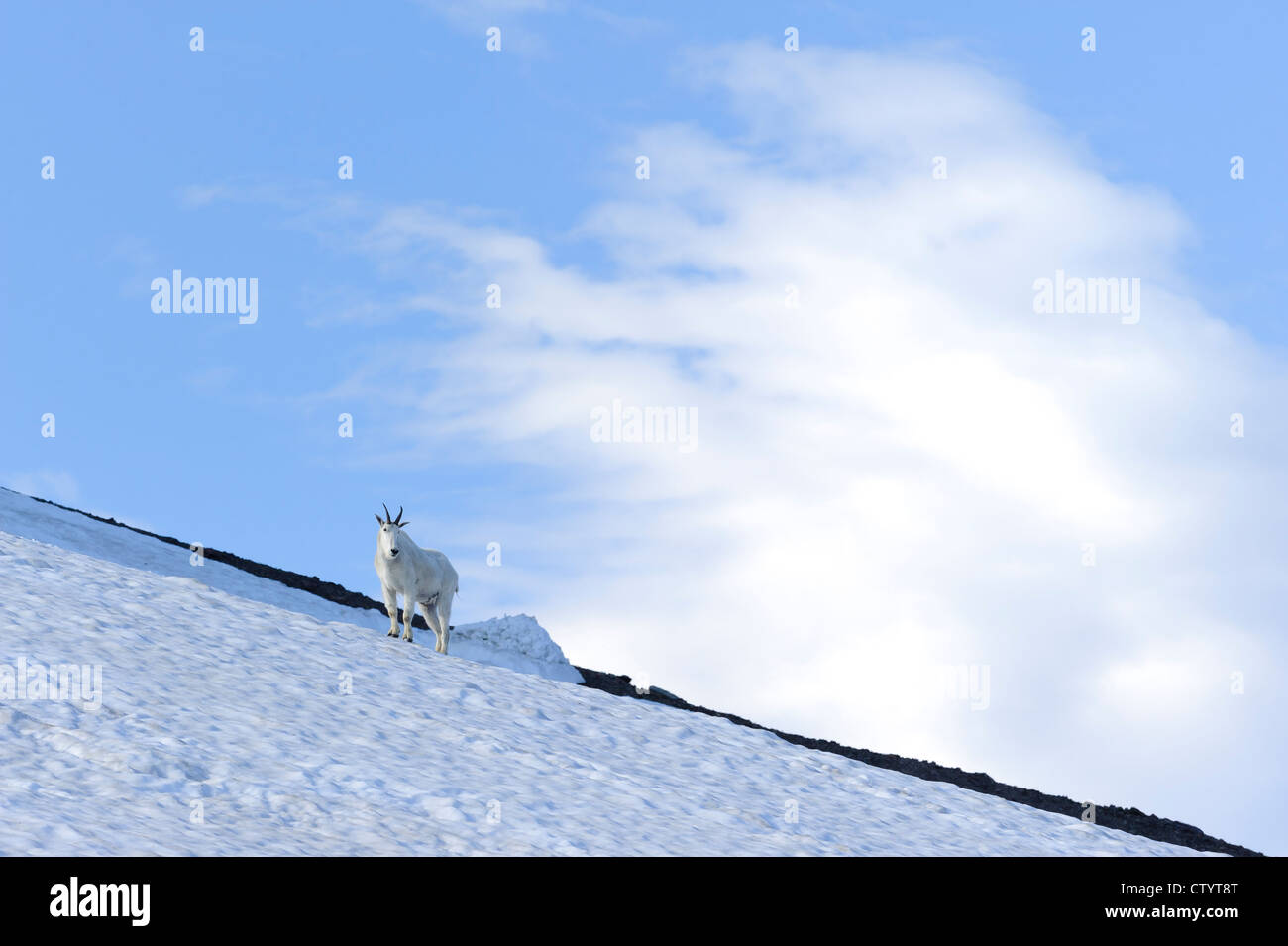 A mountain goat (Oreamnos americanus) stands on top of a snow field in Glacier National Park, Montana - Stock Image