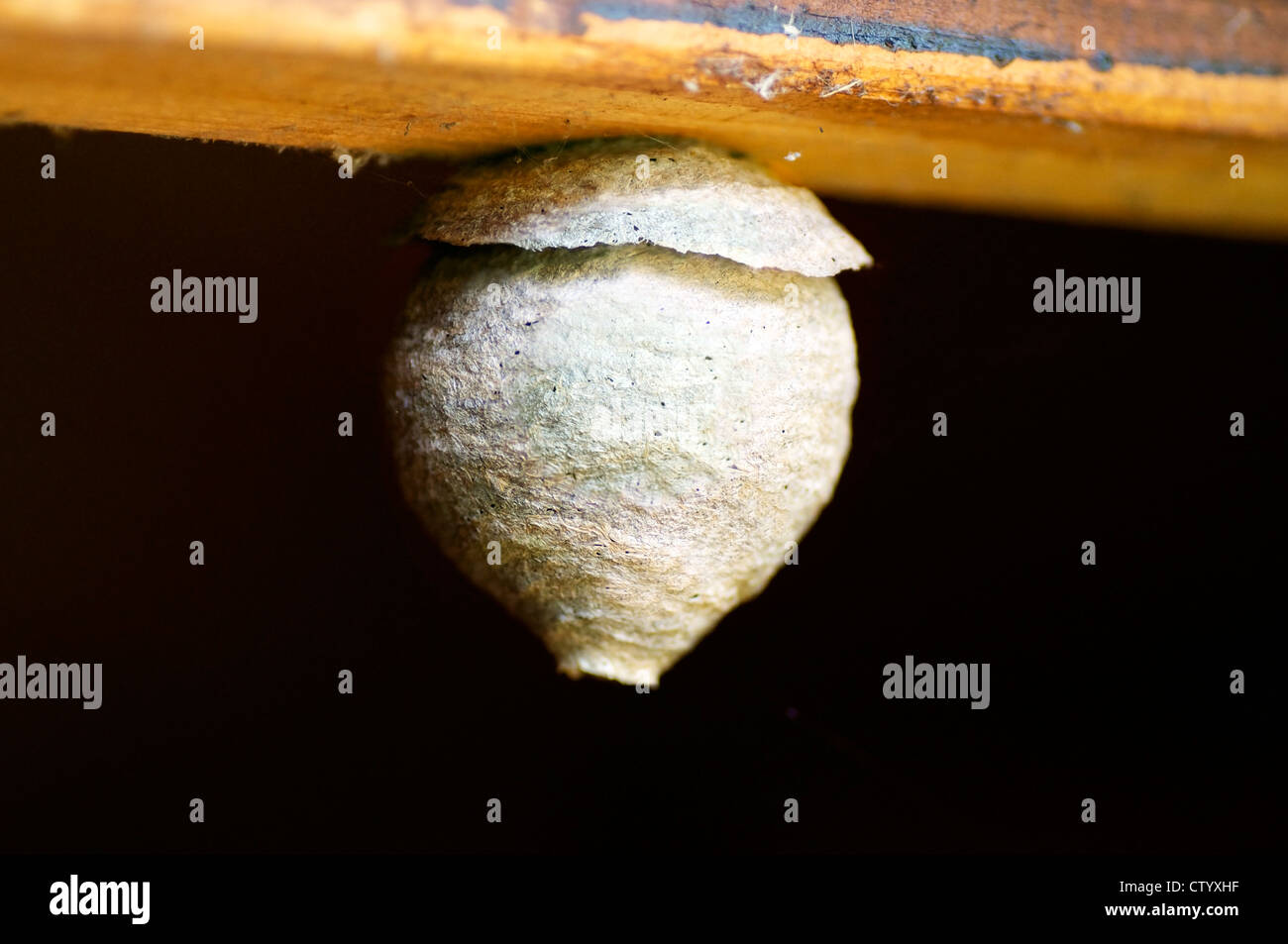 Nest of the Common Wasp, Vespula vulgaris, hanging on a plank - Stock Image