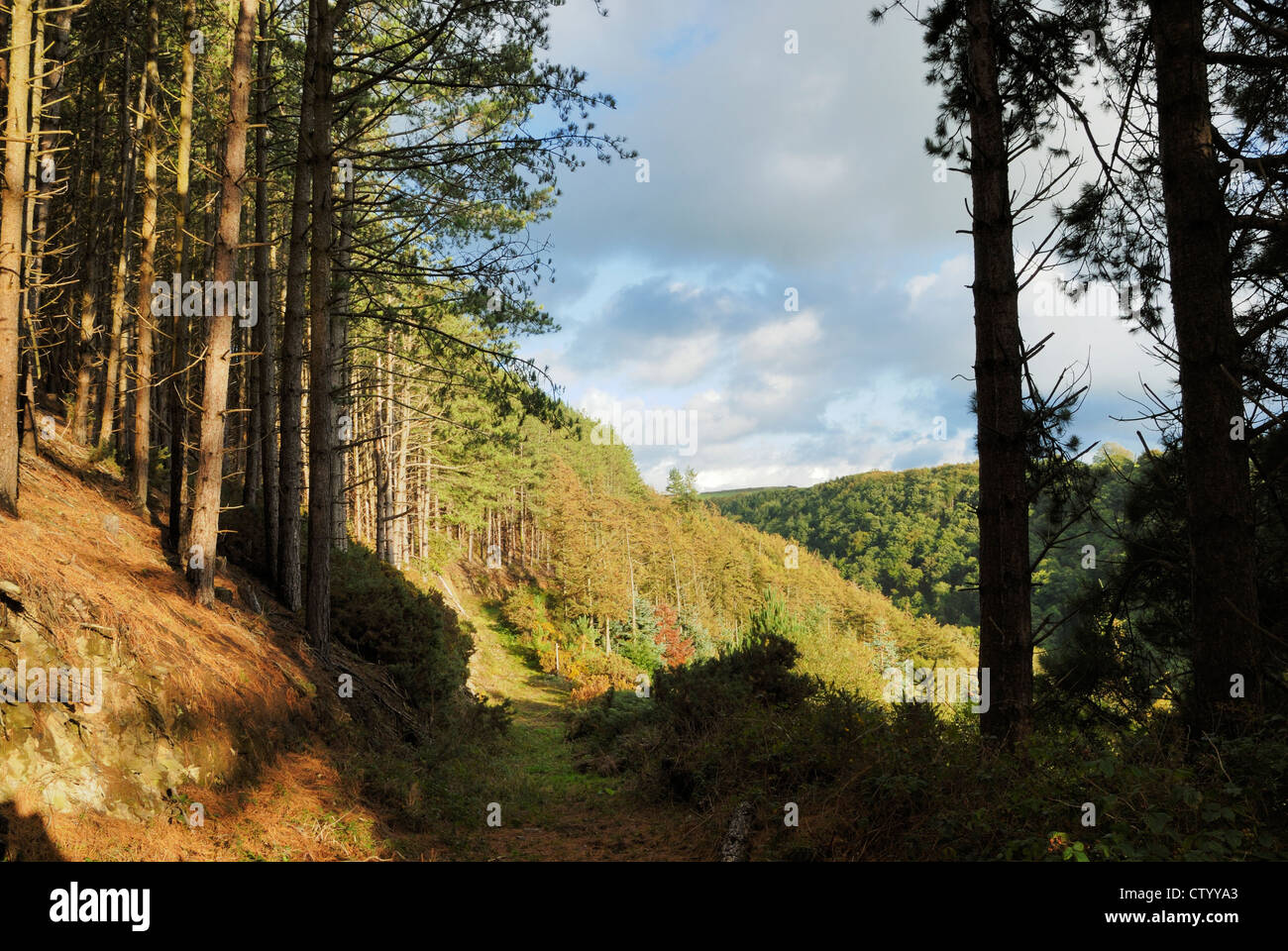 Track through conifer woodland, Tir Sisial, Wales. Stock Photo