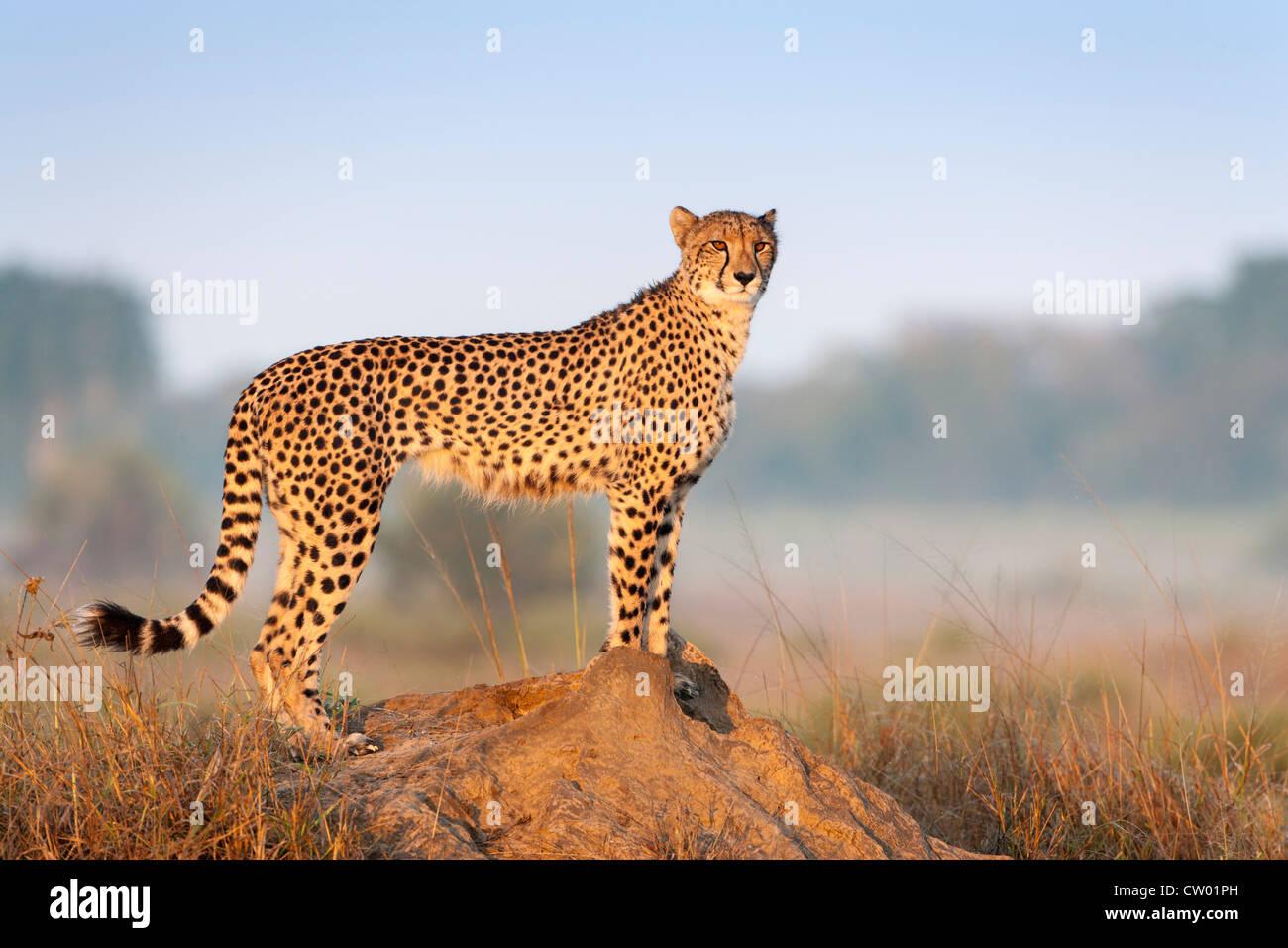 Cheetah female (Acinonyx jubatus), Phinda private game reserve, Kwazulu Natal, South Africa, June 2012 - Stock Image
