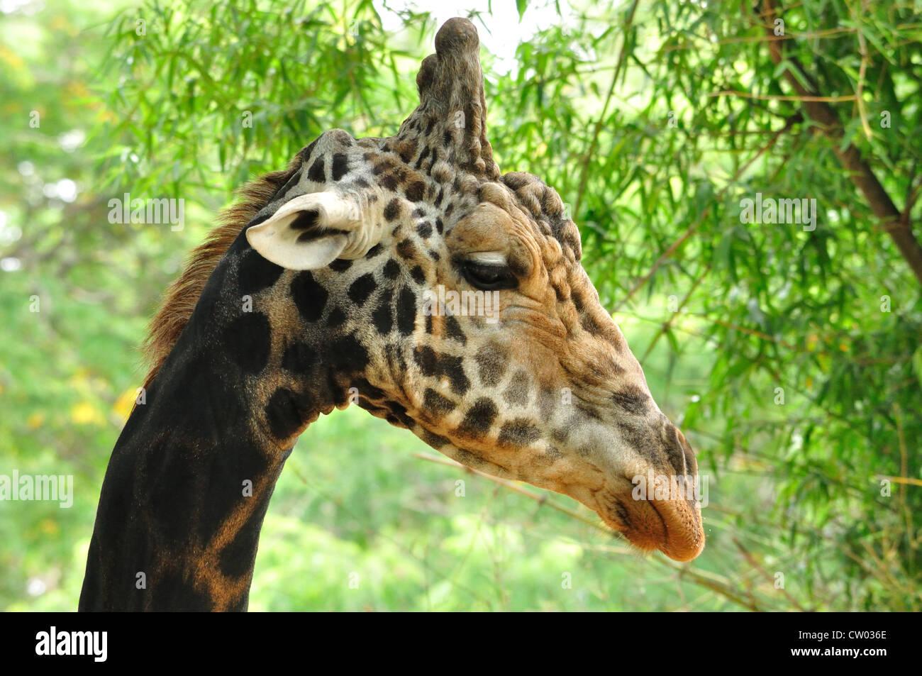 Giraffe Close-up (Giraffa camelopardalis) - Stock Image