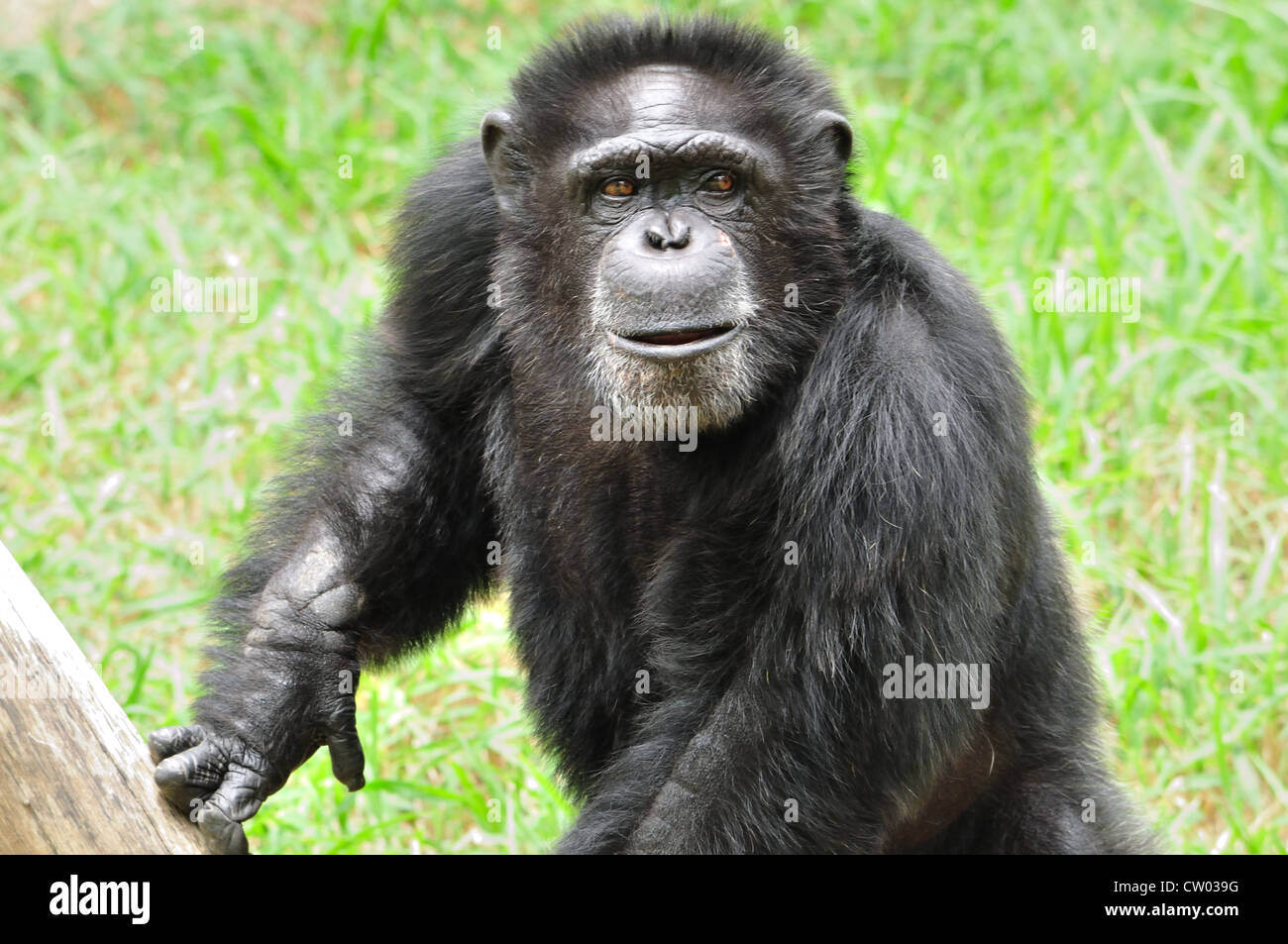 Gorilla - Stock Image