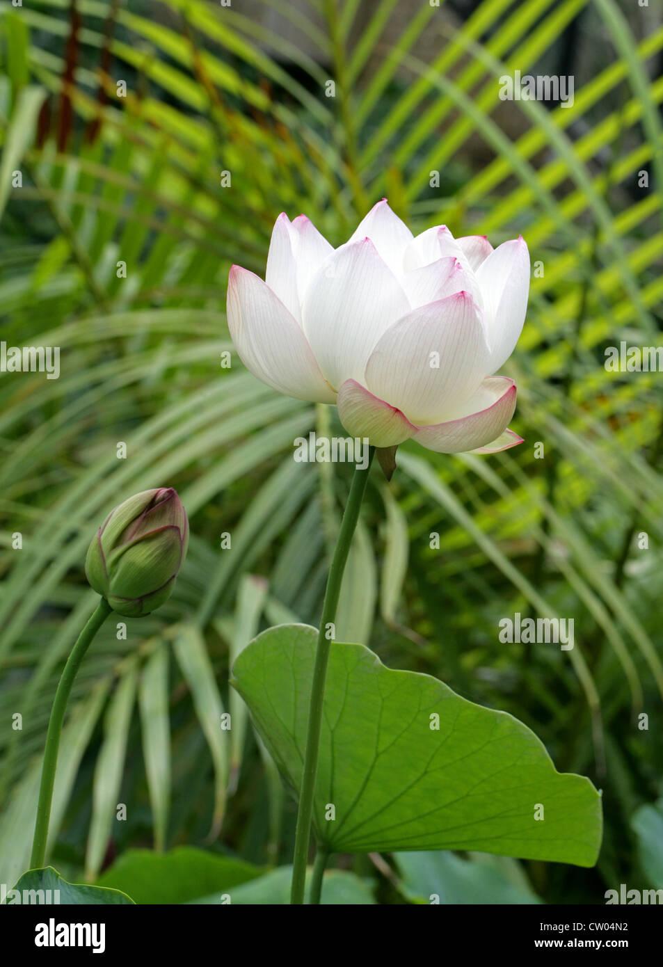 Nelumbo nucifera stock photos nelumbo nucifera stock images alamy indian lotus sacred lotus bean of india or sacred waterlily nelumbo nucifera izmirmasajfo Choice Image