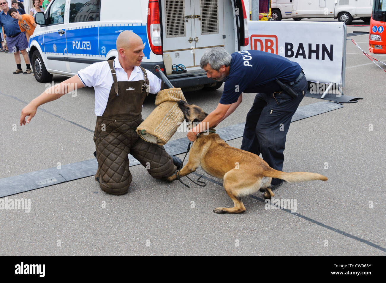 K-9 Belgian Shepherd Dog Malinois German Police Dog performing a protection dog exercise in public biting in the - Stock Image