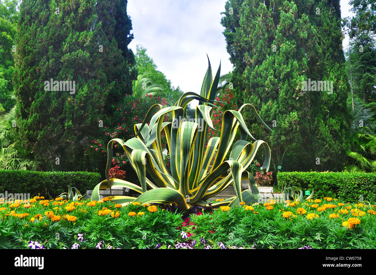 Agave and marigolds in Sochi Arboretum - Stock Image