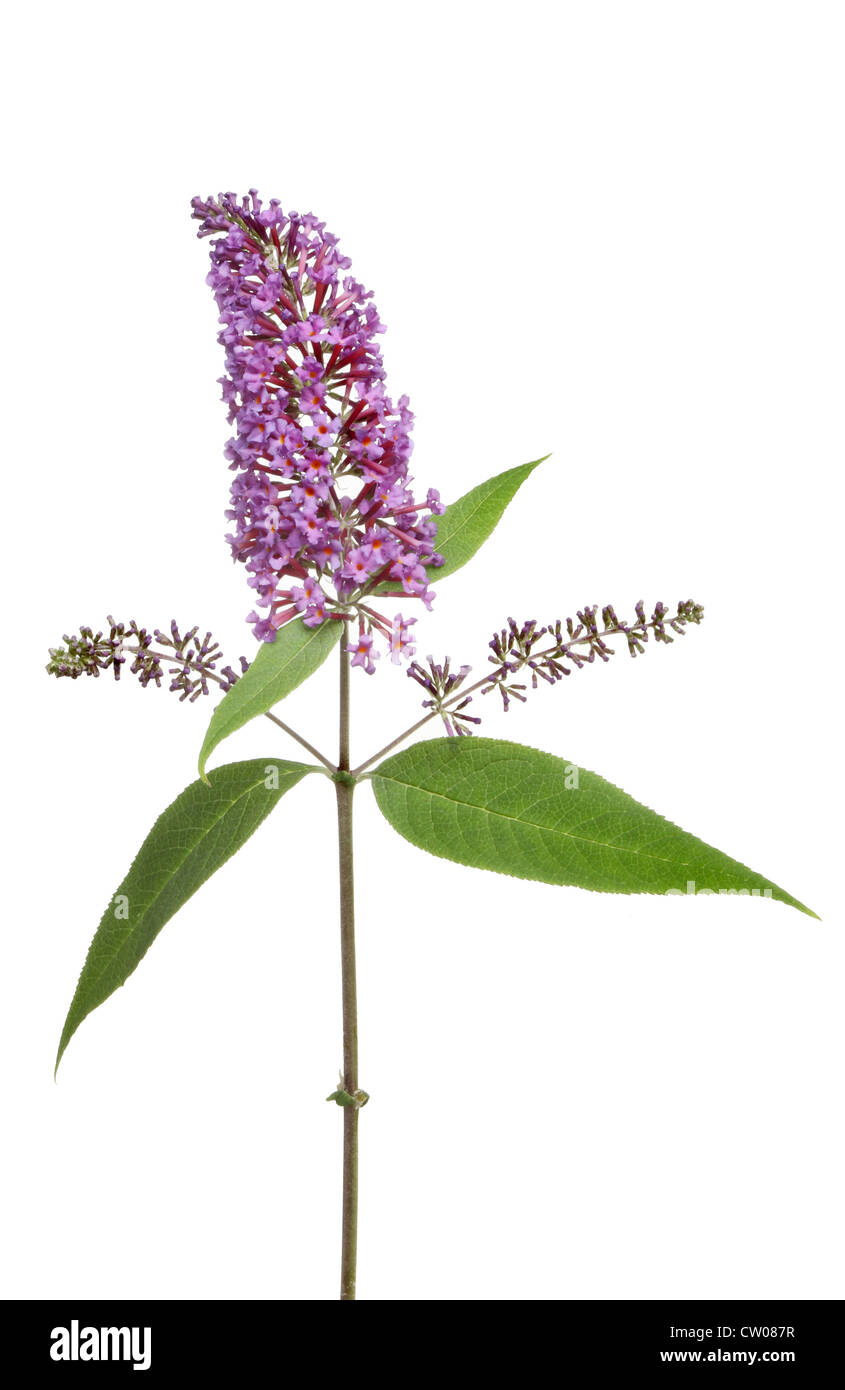 Buddleia flowers and leaves isolated against white - Stock Image