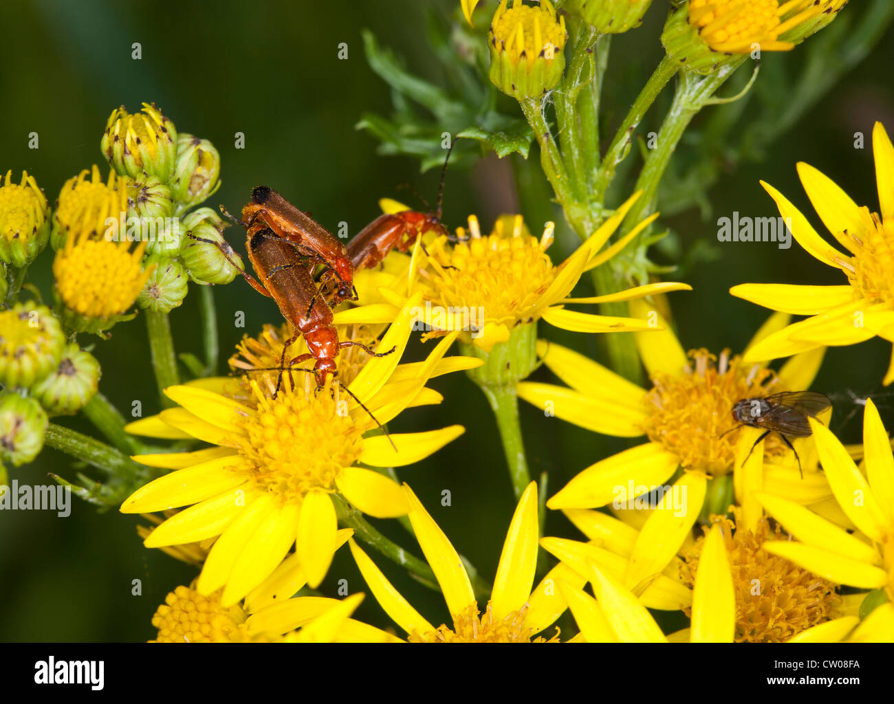 Common Soldier Beetle on Oxford Ragwort Stock Photo