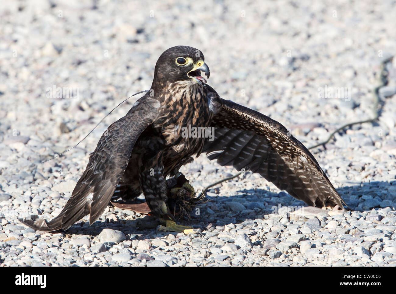 Hybrid falcon at the Teton Raptor Center in Wyoming, mantling over a lure held in its left foot. - Stock Image
